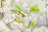 Almost Paradise (moaan) Tags: kobe hyogo japan jp bird japanesewhiteeye perch ume umeblossom apricotblossom blossoming inblossom dof depthoffield bokeh bokehphotography canoneos7dmarkii ef70200mmf28lisiiusm utata 2018