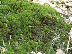 P2172293 (harrach_ba) Tags: green brown winter spring nature flowers bosna bosnia