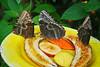 Key West (Florida) Trip 2017 0044Ri 4x6 (edgarandron - Busy!) Tags: florida keys floridakeys keywest butterflyhouse keywestbutterflyandnatureconservatory