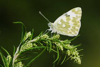 Pontia daplidice (4)
