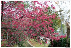 20180220-003 (Aaron Cat) Tags: aaronhsu canon eos 5d markiii canoneos5dmarkiii carlzeissplanart1450 50mm flowers sakura chupei hsinchu taiwan 新竹 竹北 台灣 tree flower