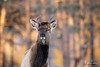 Wonky (Megan Lorenz) Tags: male elk spike animal mammal nature wildlife wild wildanimals ontario canada mlorenz meganlorenz