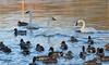 Trumpeter Swans (Lynnemvt) Tags: wisconsinwildlife shawano wolfriver mallard ducks nature canont3i rebel
