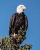 Bald Eage in Kilkenny Cove (Dean OM) Tags: bird bald eagle maine me kilkenny cove