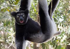 shocker (matt_in_a_field) Tags: eos 5d mk3 canon dslr indri lemur wild wildlife palmarium madagascar hanging shocked expression travel mammal primate