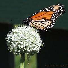 Monarch Butterfly (Maurice Grout) Tags: wellington newzealand northisland bananashallot monarchbutterfly danausplexippus