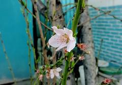 Empieza La Primavera #Durazno #Fruto #Flor #Canon #Fotografía (joseprimero) Tags: fotografía flor fruto canon durazno