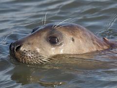 M2174202 E-M1ii 300mm iso200 f4 1_1000s SingleAF (Mel Stephens) Tags: 20180217 201802 2018 q1 4x3 wide uk scotland aberdeenshire olympus mzuiko mft microfourthirds m43 300mm pro omd em1ii ii mirrorless newburgh river ythan coast coastal animal animals seal seals nature wildlife water best