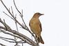 Clay-colored Thrush (Alan Gutsell) Tags: bird birding wildlife nature photo canon alan texasbirds texascoast texas rio grande south statepark claycolored thrush clay colored claycoloredthrush