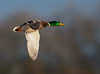 Mallard (Gary Vause) Tags: anasplatyrhynchos staidans swillingtonings staidansrspb rspb birdinflight duck drake nikon nikond500 yorkshire