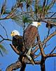 Bald Eagles (Stan in FL) Tags: unitedstates florida titusville blackpointwildlifedrive haliaeetus leucocephalus bald eagle birds birding nature nikon d500