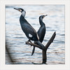 KUS850-5000 (Weinstöckle) Tags: kormoran wasservogel enz vogel