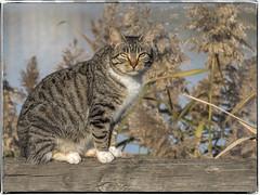 GATO (BLAMANTI) Tags: gatos gato felinos hermoso bello canon canonpowershotsx60 cat blamanti silvestres animal mascotas sol