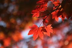 IMG_2859 (jumppoint5) Tags: autumn misen miyajima hiroshima japan bokeh blur red orange leaves light shadows