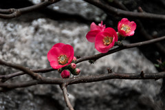 flower pink stone-0021