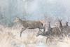 Jump! (tommerchant1) Tags: bog frozen deer reddeer hinds wildlife nature winter snow weather ukweather bbcwinterwatch bbcspringwatch britishwildlife outdoors