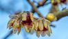 Wintersweet - Chimonanthus praecox (ArtFrames) Tags: flowers january winter garden delepreabbey sun colours