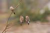Indian silverbill (ahmedezaz76) Tags: indian silverbill triangle love wild bird natural outdoor beauty bangladesh animal art