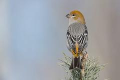 Pine Grosbeak fem (Joe Branco) Tags: joebrancophotography ontario canada branco joe nikond850 nikon pinegrosbeak birds wildlife green