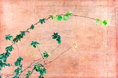 Vine 2 (lorinleecary) Tags: centralcoastcalifornia harmony artography composite digitalart green manipulatedimage red textured vines