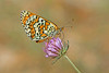 Melitaea cinxia - the Glanville Fritillary (BugsAlive) Tags: butterfly butterflies mariposa papillon farfalla schmetterling бабочка animal outdoor insects insect lepidoptera macro nature nymphalidae melitaeacinxia glanvillefritillary nymphalinae wildlife ardèche plateaudesgras bidon liveinsects france