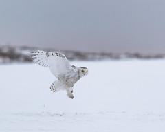 Snowy Owl (Bubo scandiacus) (svizzerams2010) Tags: mansfield washington unitedstates us bird owl snowyowl douglascounty wildbird raptor bif beauty arcticemissary predator white