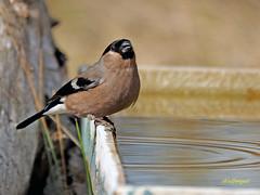 Hembra de Camachuelo común (Pyrrhula pyrrhula) (1) (eb3alfmiguel) Tags: aves pájaros fringillidae passeriformes camachuelo común pyrrhula