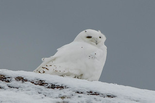 #2, Snowy Owl , Cape Spear