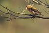Grote Kruisbek - Loxia pytyopsittacus - Parrot Crossbill (merijnloeve) Tags: grote kruisbek loxia pytyopsittacus parrot crossbill zeist heidestein ut utrechtse heuvelrug gemeente bornia
