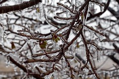 Frozen Bloom (herellybelly) Tags: green ice tree flower budding spring winter texas icicle rain frozen bloom brown
