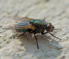 Cluster Fly (PenparcauBoy) Tags: fly macro insect