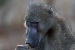 Smells familiar (leendert3) Tags: leonmolenaar southafrica wildlife nature mammals chacmababoon krugernationalpark ngc coth5 npc