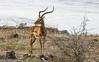 Safari-Tsavo National Park-Kenya (17) (johnfranky_t) Tags: gazzella johnfranky t tsavo national park kenya africa fiume river athi galana sabaki corna cespugli buch pietre acqua savana