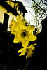 yellow daffodils 2 (eskstreetph) Tags: yellow daffodils winter composition homesweethome bagnoaripoli tuscany italy flowers nature beautiful canon eos550d photoshopcc contrast macro amazing flicker addicted