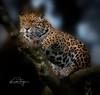 Jaguar (yadrad) Tags: jaguar bigcats dartmoorzoo dartmoorzoologicalpark sparkwell animal carnivore ngc spotted cats