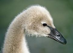 Sweet face (dina j) Tags: floridawildlife florida wildlife bird floridabird swan muteswan cygnet babyswan lakeland lakemorton