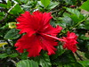 For Judy who lovingly grows hibiscus plants (peggyhr) Tags: peggyhr dedication red hibiscus unique flower dsc06947 hawaii carolinasfarmfriends rainbowofnaturelevel1red thelooklevel1red