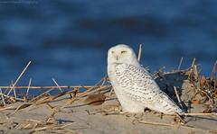 Snowy Owl (Cameron Darnell) Tags: snowyowl buboscandiacus 2018 january owl cameron tamron canon beach bird shore nature owls winter irruption animal conservation