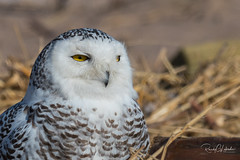 Snowy Owls of New York | 2018 - 06 (RGL_Photography) Tags: beachowl birding birds birdsofprey birdwatching buboscandiacus mothernature ny nature newyork nikonafs600mmf4gedvr nikond500 ornithology owls raptors snowyowl us unitedstates wildlife wildlifephotography