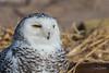 Snowy Owls of New York   2018 - 06 (RGL_Photography) Tags: beachowl birding birds birdsofprey birdwatching buboscandiacus mothernature ny nature newyork nikonafs600mmf4gedvr nikond500 ornithology owls raptors snowyowl us unitedstates wildlife wildlifephotography
