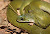 Green keelback (Bagheera tale) Tags: nonvenomous snakes snakesofindia green keelback grasssnake forest forestfloor nocturnal natricidae crepuscular reptiles beautiful scales nature animals fauna