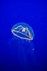 Monterey Bay Aquarium (joshbousel) Tags: animal aquarium ca california crossjelly fish jellyfish monterey montereybayaquarium northamerica places travel unitedstates unitedstatesofamerica usa