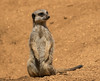 Meerkat (Foxley65) Tags: colchester zoo meerkat simples canon 7d essex