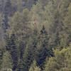 Golden Eagle (Thanassis Photography) Tags: alps austria bird goldeneagle obernbergersee kungsörn fågel