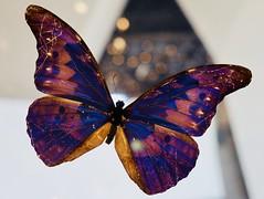 Displayed Beauty (Robert Cowlishaw (Mertonian)) Tags: colors colours beauty beautiful wings outandabout robertcowlishaw markiii g1x powershot canon canonpowershotg1xmarkiii wonder awe mertonian macro butterfly