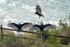 20180117_Vultures_0002 (jnspet) Tags: vulture turkeyvulture bird birds wing wings water fence avian buzzard buzzards outdoor spreadwide stretch feathers wingsoutstretched wingsspread backlight cathartesaura perch perched sunning post wood