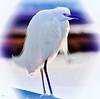 The Stare (beachpeepsrus) Tags: bird egret white westcoast longbeachcalifornia longbeachgranprix light