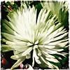 More flowers. #Takoma #dc #dclife #washingtondc #iphone #iPhonemacro #macro  #flower #flowersofinstagram (Kindle Girl) Tags: iphone takoma dc dclife washingtondc iphonemacro macro flower flowersofinstagram