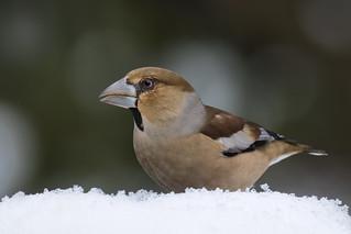 Frosone -  Hawfinch