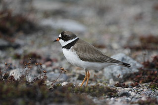 Adult Semipalmated Plover showing a side profile while standing on a rocky arctic tundra